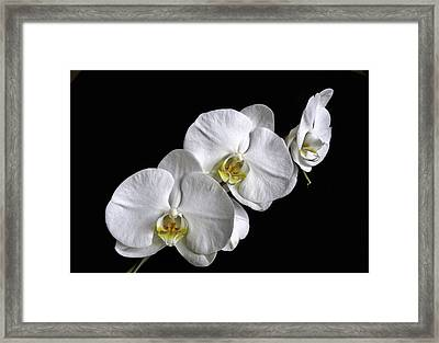Moth Orchid Trio Framed Print by Ron White