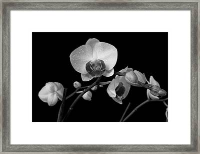 Moth Orchids Framed Print