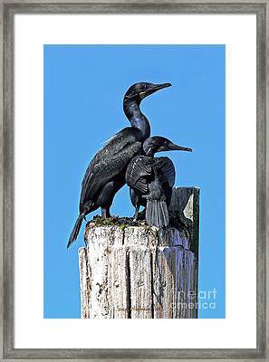 Framed Print featuring the photograph Mother And Baby Brandt's Cormorants by Susan Wiedmann