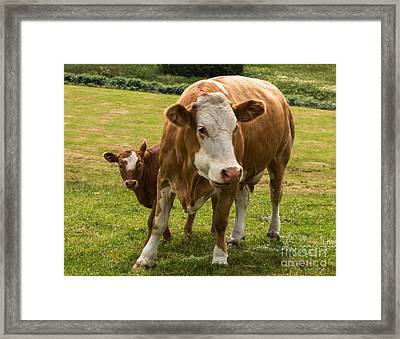 Mother And Baby Cow Framed Print by Iris Richardson