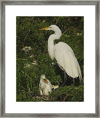 Mother And Baby Egret Framed Print by Wynn Davis-Shanks