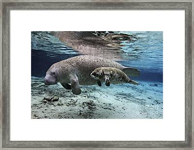 mother and baby Florida Manatees together in Florida spring Framed Print