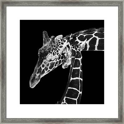 Mother And Baby Giraffe Framed Print