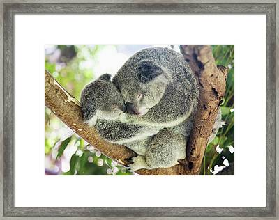 Mother And Baby Koala Bears Framed Print