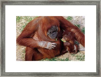 Mother And Baby Orangutans Nibbling Framed Print