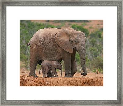 Mother And Calf Framed Print