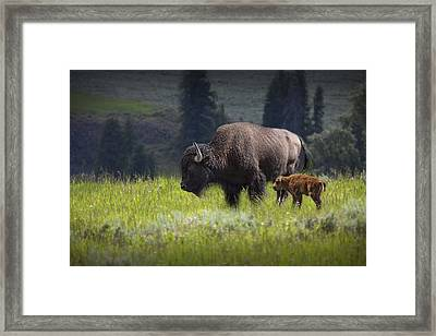 Mother And Child Bison Framed Print by Randall Nyhof