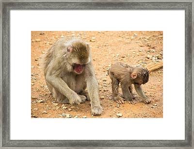 Mother And Child Macaque Framed Print by Laura Palmer