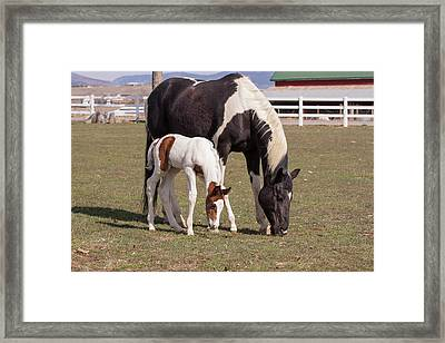 Mother And Filly Grazing Pasture White Framed Print by Piperanne Worcester