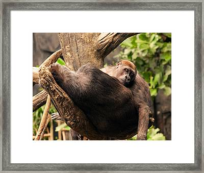 Mother And Youg Gorilla Sleeping In A Tree Framed Print