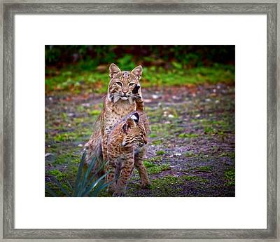 Mother Bobcat And Kitten Framed Print by Mark Andrew Thomas