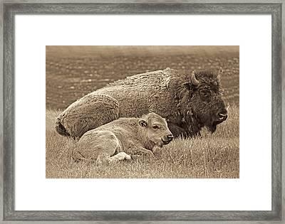 Mother Buffalo And Calf Sepia Framed Print