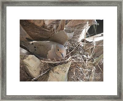 Mother Dove  Framed Print by Deborah DeLaBarre