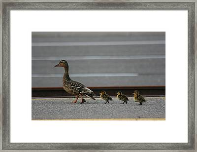 Mother Duck And Babies Framed Print by Paula Brown