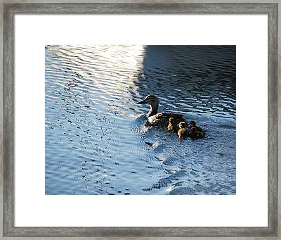 Mother Duck With Babies Canandaigua Lake 2008 Framed Print
