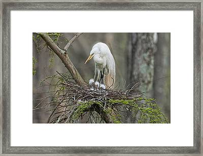 Mother Egret And Chicks Framed Print by Bonnie Barry