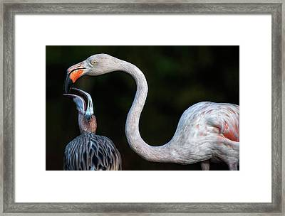 Mother Flamingo With Chick Framed Print