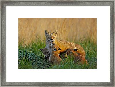 Mother Fox And Kits Framed Print by William Jobes