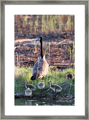 Mother Goose And Goslings Framed Print