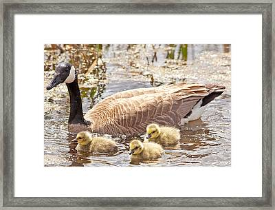 Mother Goose And Goslings Framed Print by Natural Focal Point Photography