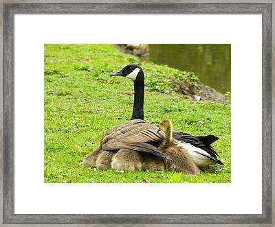 Mother Goose Framed Print by Bruce Brandli