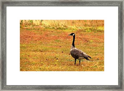 Mother Goose Fall Foliage Tours Framed Print by Mike Breau