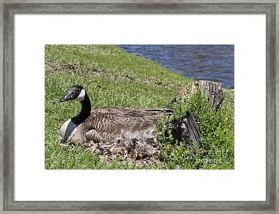 Mother Goose Framed Print