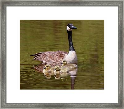 Mother Goose With Baby Geese Framed Print by Edward Kocienski