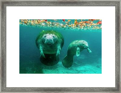 Mother Manatee With Her Calf In Crystal Framed Print