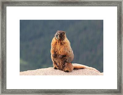 Mother Marmot Framed Print