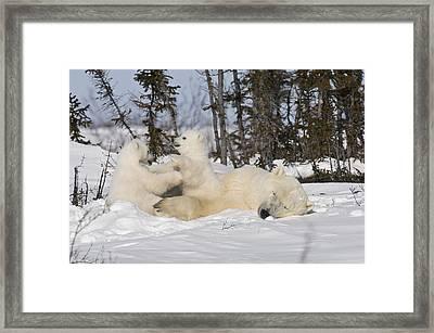 Mother Polar Bear Sleeps While Her Cubs Play Framed Print