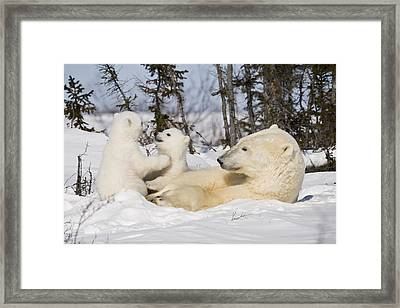 Mother Polar Bear Watches Her Cubs Play Framed Print