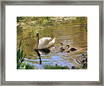 Mother Swan And Cygnets Framed Print by Janice Drew