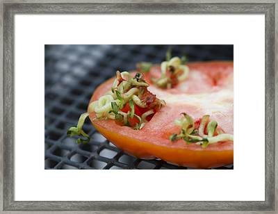 Mother Tomato - Vivipary Framed Print by Kathy Clark