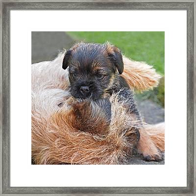 Mother's Love - Border Terrier Framed Print by Gill Billington