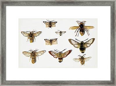Moths And Batesian Mimicry Framed Print by Paul D Stewart