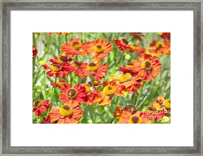 Motion Blur With Common Sneezeweed Framed Print by Roberto Morgenthaler