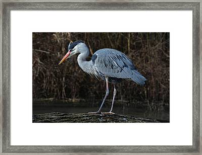 Motionless Grey Heron Framed Print