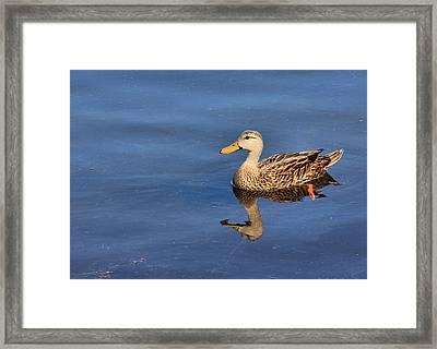 Mottled Duck Reflected Framed Print by Rosalie Scanlon