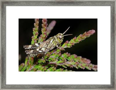 Mottled Grasshopper Juvenile Framed Print by Nigel Downer