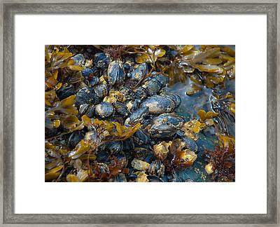 Mound Of Mussels Framed Print by Sarah Crites