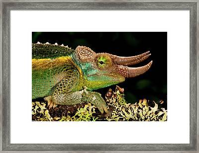 Mount Kenya Jackson's Chameleon Framed Print