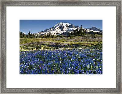 Mount Rainier And Lupine Meadow Framed Print by John Shaw