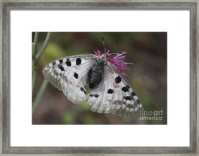 Mountain Apollo Parnassius Apollo Framed Print by Amos Dor