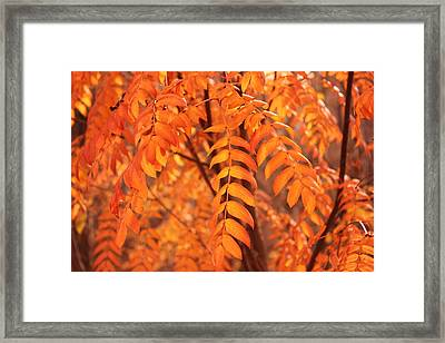 Mountain Ash Leaves - Autumn Framed Print by Jim Sauchyn