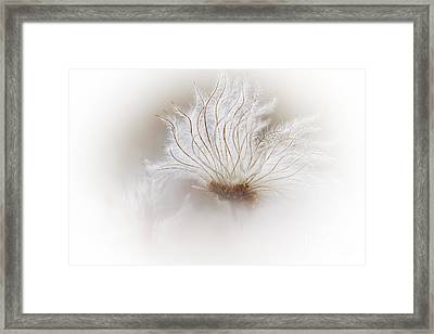Mountain Avens Seed Head Framed Print