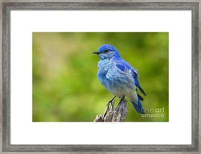 Mountain Bluebird Framed Print by Aaron Whittemore