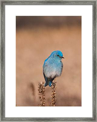 Framed Print featuring the photograph Mountain Bluebird by Cascade Colors
