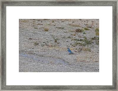 Framed Print featuring the photograph Mountain Bluebird  by Lars Lentz