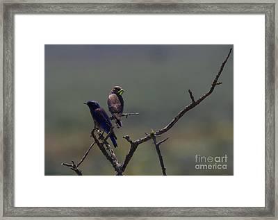 Mountain Bluebird Pair Framed Print by Mike  Dawson